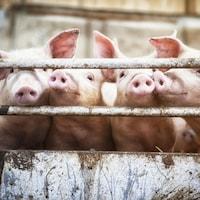 Quatre porcs s'agitent derrière une barrière, leur museau entre les barreaux.