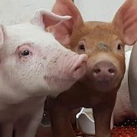 Un jeune porc rose et un jeune porc brun regardent la caméra.