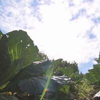 Des légumes poussant dans un champ.