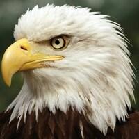 Le pygargue à tête blanche, appelé communément l'aigle à tête blanche.