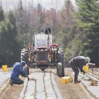 Des travailleurs agricoles étrangers originaires du Mexique plantent des fraises dans une ferme de Mirabel, au Québec, le mercredi 6 mai 2020.