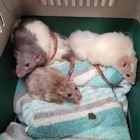 Trois rats sont dans une cage bien entretenue avec de la nourriture et une serviette.