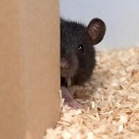 Un rat se cache dernière une structure.