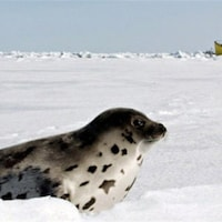 Un phoque du Groenland.