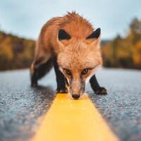 Un renard sur la route