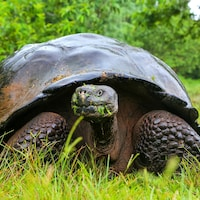 Une tortue mange de l'herbe.