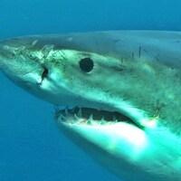 La tête d'un requin blanc.