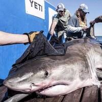 Un requin blanc se fait identifier par des chercheurs.