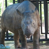 Plan rapproché d'un rhinocéros de Sumatra dans un enclos.