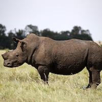 Un rhinocéros, la corne coupée.