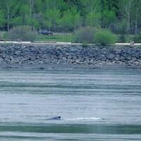 La crête de la baleine est aperçue dans le fleuve.