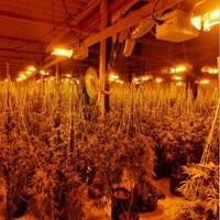 Montage photo, avec deux images, de longues files de plants de cannabis dans une salle éclairée de lumières jaunes.
