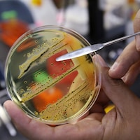 Une culture de salmonelle en laboratoire