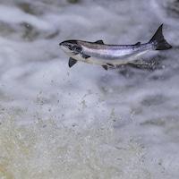 Un saumon de l'Atlantique saute hors de l'eau.