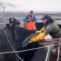 Un travailleur tient un saumon près d'un bassin en mer d'une ferme d'élevage.