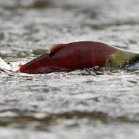 Un saumon saute à la surface de l'eau de la rivière Adams près de Chase, en Colombie-Britannique.