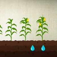 Pour chaque grain semé, combien de grains récolte-t-on?