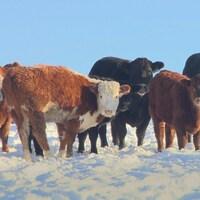 Élevage de boeuf en Alberta
