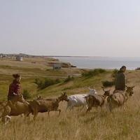 Des éleveurs de chèvres mènent leur troupeau dans un champ en haut d'une falaise des îles de la Madeleine.