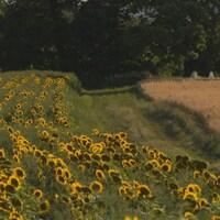 Un champs de tournesols