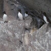 Un groupe de petits pingouins sur les rochers d'une île de l'archipel de l'Isle-aux-grues.