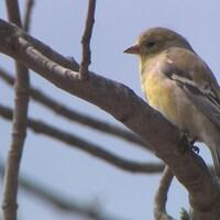 Chardonneret avec son plumage d'hiver perché dans un arbre au printemps.