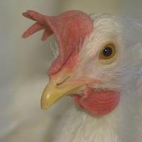 Plan rapproché d'une poule pondeuse.