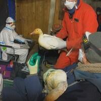 Les chercheurs font des prélèvements sur les oies des neiges pour déceler toute trace de virus.