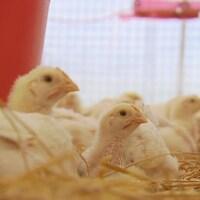 Quelques petits poulets sur la paille.