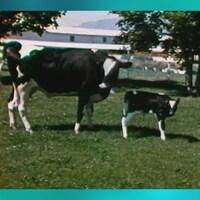 Une vache laitière et son veau