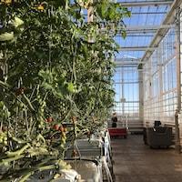 Des plants de tomates cerises à l'intérieur d'une serre.