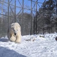 L'ours blanc Shouka.