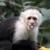 Un singe capucin.