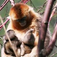 Une femelle allaite deux bébés de son groupe.