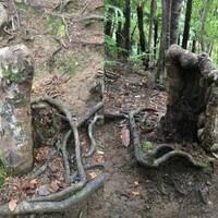 Montage de deux photos de la souche d'un arbre.
