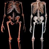 Squelettes d'un néandertalien et d'un humain.