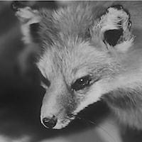 Buste d'un renard empaillé.
