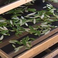 Des feuilles de thé du Labrador sèchent sur un filet.