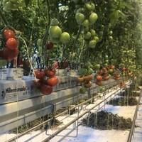 Les tomates des Serres bleues, à Chapais, sont arrivées sur le marché fin décembre.