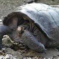 Une tortue géante.