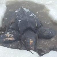 Le cadavre d'une tortue luth gît au milieu de la glace.