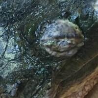 Une tortue malade aux yeux boursouflés, et à la peau décolorée.