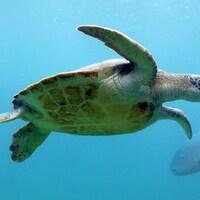 Une tortue verte sous l'eau.