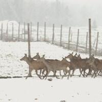 Des cerfs courant dans la neige.