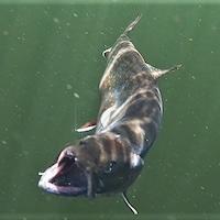 Truite tentant de se défaire d'une ligne de pêche