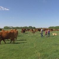 Tyler Fulton marche dans un champ, avec son garçon, sa fille et son chien à sa droite, entouré de vaches brunes.