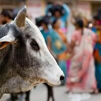 Une vache en Inde