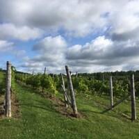 Des rangées de vignes.