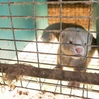 Deux visons dans une cage.