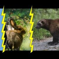 Montage de photographies avec un corbeau, un lapin et un carcajou